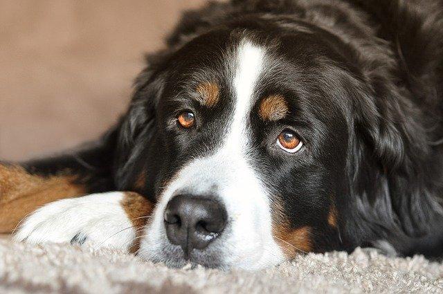 En hund ligger og slapper af